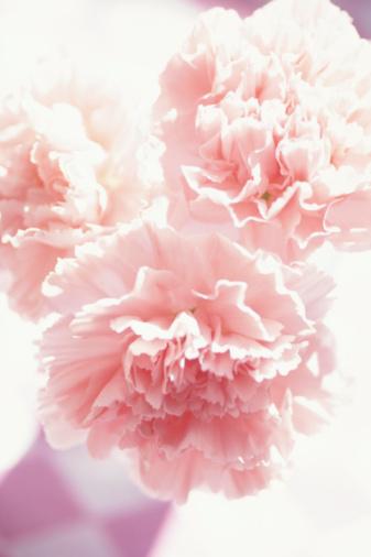カーネーション「Close-up of carnations」:スマホ壁紙(18)