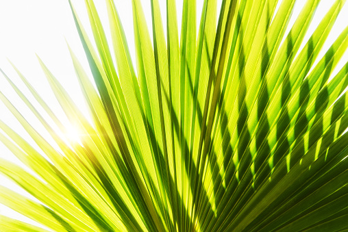 Fan Palm Tree「Close-up of palm leaf on white background」:スマホ壁紙(6)