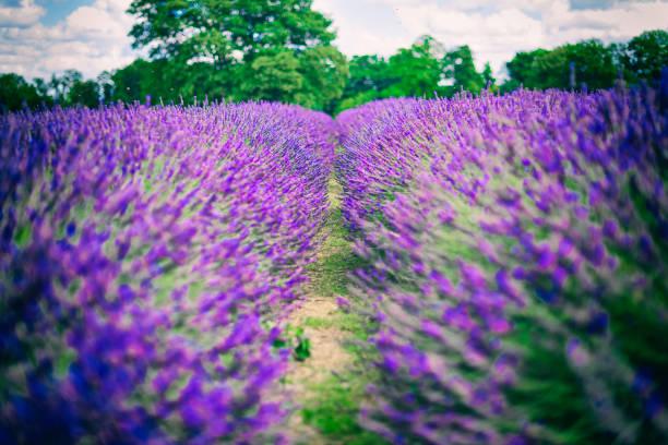 紫のラベンダー畑のクローズ アップ:スマホ壁紙(壁紙.com)