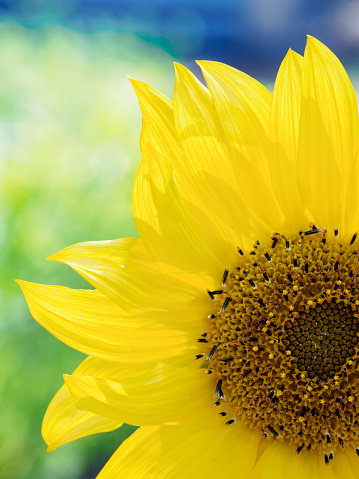 ひまわり「Close-up of sunflower (Helianthus) in bloom」:スマホ壁紙(10)
