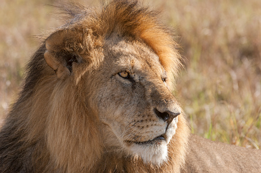 Furious「Close-up of Wild Male African Lion」:スマホ壁紙(11)