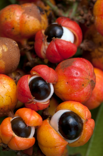 Amazon Rainforest「Close-up of orange-red colorful Guarana fruit」:スマホ壁紙(17)