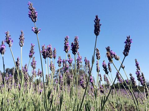 French Lavender「Closeup of French lavender flowers」:スマホ壁紙(10)