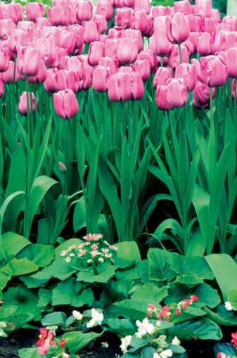 Keukenhof Gardens「Close-up of pink Tulips in a field, Keukenhof, Netherlands」:スマホ壁紙(12)