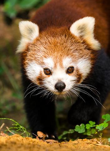 パンダ「レッサーパンダのポートレート」:スマホ壁紙(7)