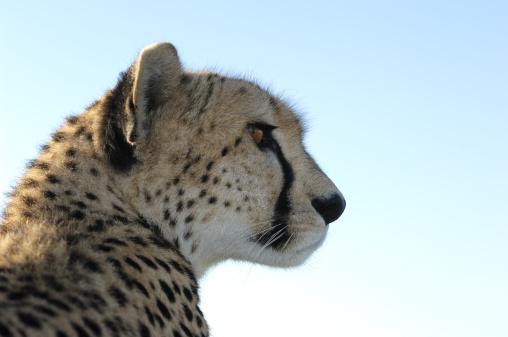 African Cheetah「Close-up of Wild Cheetah Sitting on Safari Vehicle Roof」:スマホ壁紙(3)