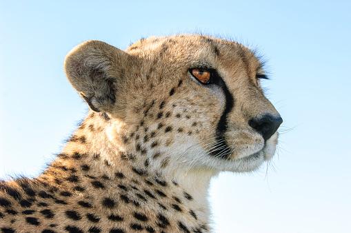 Endangered Species「Close-up of Wild Cheetah Sitting on Safari Vehicle Roof」:スマホ壁紙(5)