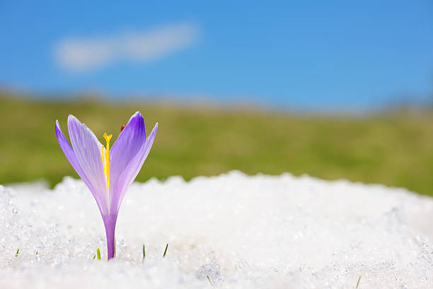 Close-up of purple crocus in snow:スマホ壁紙(壁紙.com)