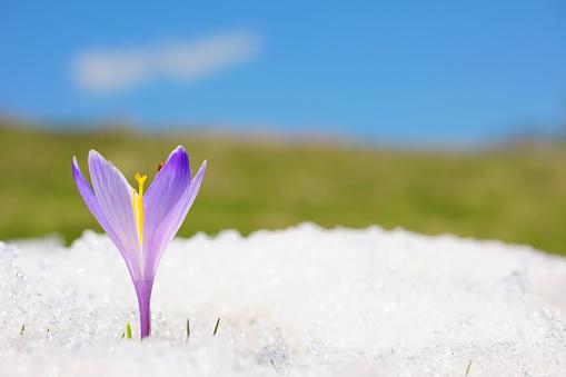 Crocus「Close-up of purple crocus in snow」:スマホ壁紙(16)