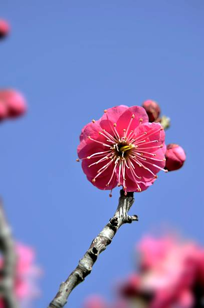 Close-up of red plum tree blossoms. Osaka Prefecture, Japan:スマホ壁紙(壁紙.com)