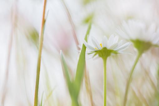 イースター「Close-up of daisies in the field」:スマホ壁紙(0)