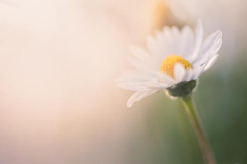 イースター「Close-up of daisies in the field」:スマホ壁紙(1)