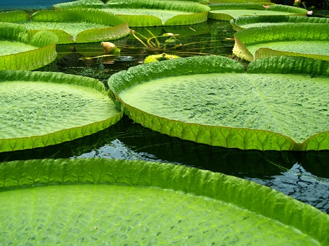 Water Lily「Closeup of a group of giant water lilies」:スマホ壁紙(17)