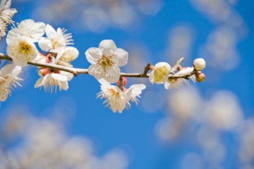 梅の花「Close-up of plum blossoms」:スマホ壁紙(10)