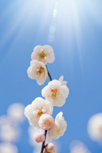梅の花「Close-up of plum blossoms」:スマホ壁紙(9)