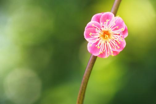 梅の花「クローズアップの梅の花」:スマホ壁紙(5)