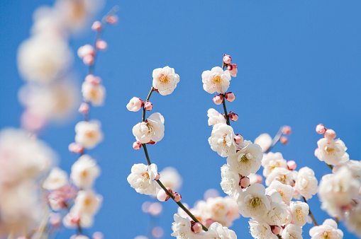梅の花「Close-up of plum blossoms」:スマホ壁紙(2)