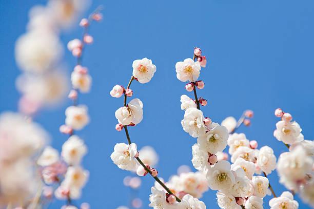Close-up of plum blossoms:スマホ壁紙(壁紙.com)