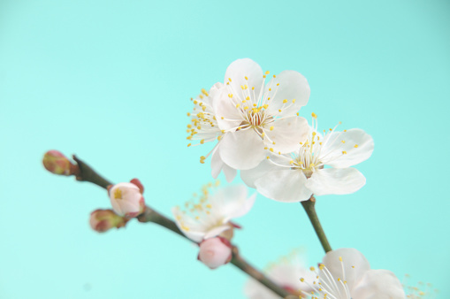 梅の花「Close-up of plum blossoms」:スマホ壁紙(18)
