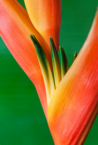 Heliconia「Close-up of a beautiful red and orange blossoming Heliconia flower against a green background」:スマホ壁紙(9)