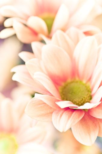 Chrysanthemum「Close-up of pale pink chrysanthemum with green center」:スマホ壁紙(16)