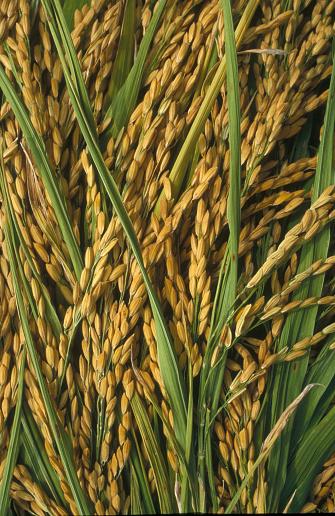 Blade「Close-up of Rice Plant Stalks」:スマホ壁紙(17)