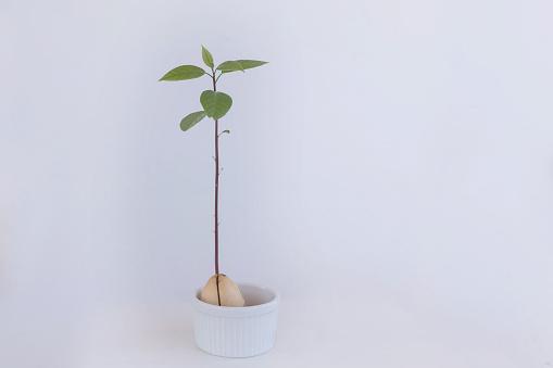 野菜・フルーツ「Close-up of an avocado seedling plant in a ramekin dish」:スマホ壁紙(16)