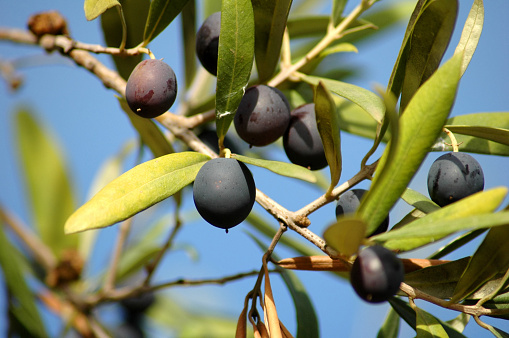 Grove「Close-up of black olives ripening on the tree」:スマホ壁紙(2)