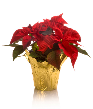 Poinsettia「Close-up of full blossom poinsettia pot in golden wrap」:スマホ壁紙(17)