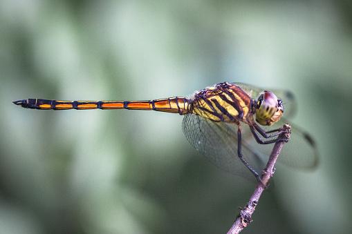とんぼ「Close-up of a dragonfly on a twig, Indonesia」:スマホ壁紙(1)
