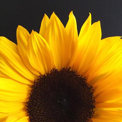 ひまわり「Close-up of a sunflower」:スマホ壁紙(9)