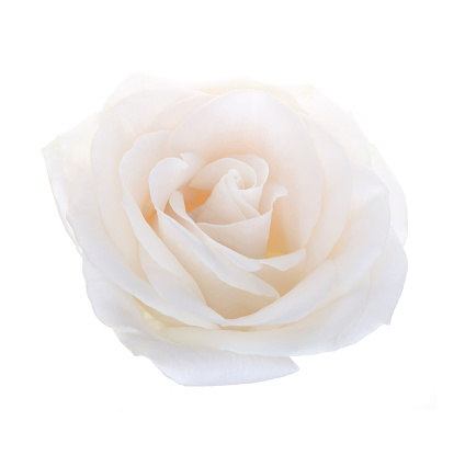 Cream Colored「Close-up of perfumed delicate white rose.」:スマホ壁紙(15)