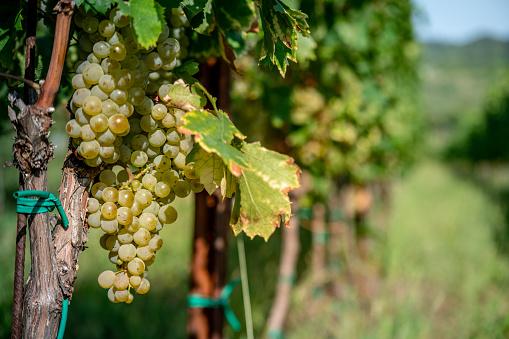 Grape「Close-up of White Grapes on Vine」:スマホ壁紙(0)