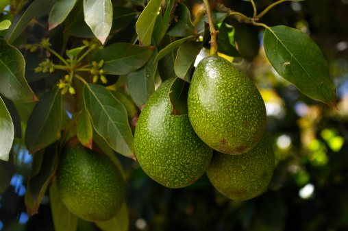 Avocado「Close-up of Ripening Avacado On Tree」:スマホ壁紙(12)