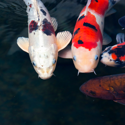 Carp「Close-up of Koi carp, differtent colors, swimming in a pond」:スマホ壁紙(11)