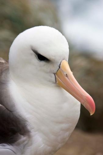 Falkland Islands「Close-up of Black-browed albatross」:スマホ壁紙(18)