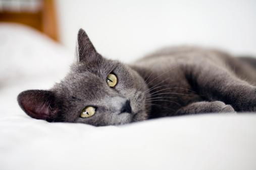 カメラ目線「Close-up of gray cat, Colorado, USA」:スマホ壁紙(2)