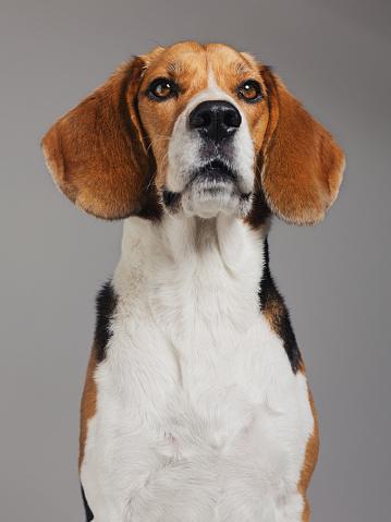 Animal Ear「Close-up of Beagle against gray background」:スマホ壁紙(13)