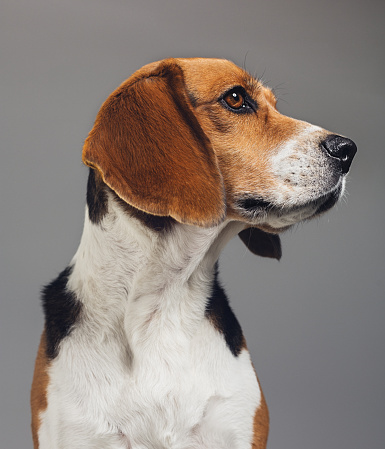 動物の毛「Close-up of Beagle against gray background」:スマホ壁紙(4)