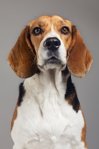 Animal Ear「Close-up of Beagle against gray background」:スマホ壁紙(10)