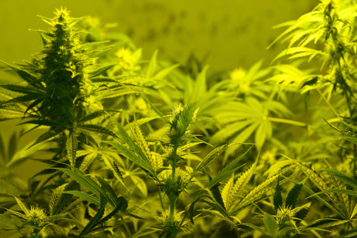 Rebellion「Close-up of Marijuana plants」:スマホ壁紙(9)