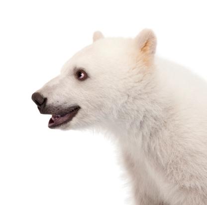 Cub「Close-up of a Polar bear cub」:スマホ壁紙(18)