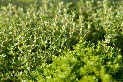 Lemon Thyme「Close-up of fresh thyme on a field」:スマホ壁紙(12)