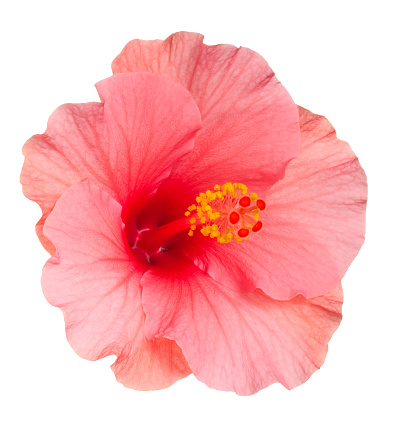 Saturated Color「Close-up of pale pink Hibiscus flower on white background」:スマホ壁紙(5)