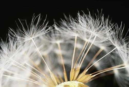 たんぽぽ「Close-up of dandelion seeds. Shioya, Tochigi Prefecture, Japan」:スマホ壁紙(11)