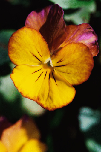 flower「Close-up of blooming pansy flower」:スマホ壁紙(4)