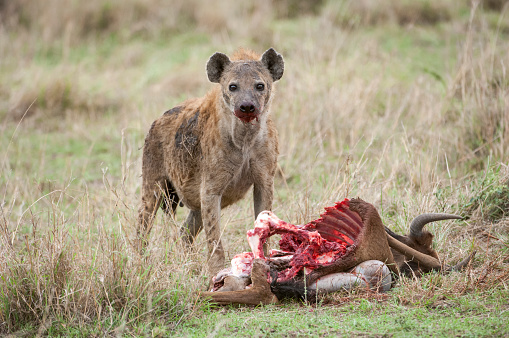 Animals Hunting「Close-up of Wild Spotted Hyena Feasting on a Wildlife Kill」:スマホ壁紙(18)