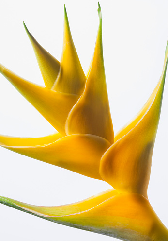 Heliconia「Close-up of a beautiful yellow Heliconia flower against a white background」:スマホ壁紙(5)