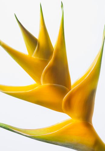 一輪の花「Close-up of a beautiful yellow Heliconia flower against a white background」:スマホ壁紙(6)