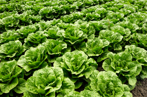 Crop - Plant「Close-up of Romaine Lettuce」:スマホ壁紙(17)